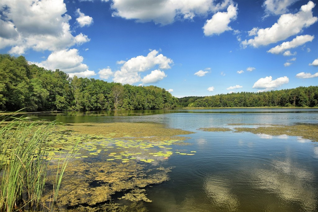 Jezioro Bucharewskie w pełni lata. Brzeg z szuwarami.