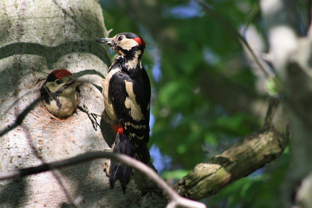 Dwa dzięcioły na drzewie. Młody w dziupli i dorosły na gałęzi.