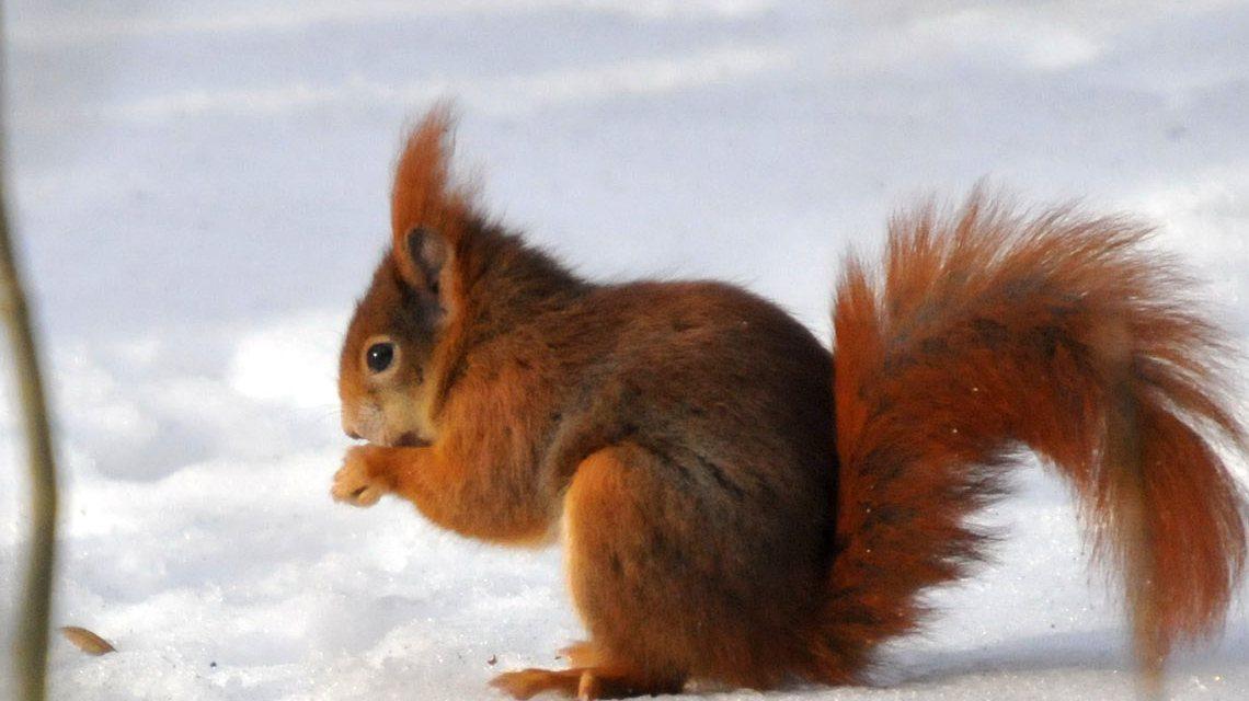 Eichhörnchen im Winter in der Fasanerie. Bild: ©2017 Bärchen57 / Flickr