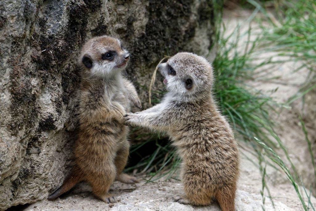 Diese zwei neugeborenen Erdmännchen gehören mit zu den Stars im Opel Zoo. ©2018 Ralf Brinkmann