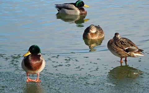 Die Stockente ist die größte und am häufigsten vorkommende Schwimmente Europas und die Stammform der Hausente.