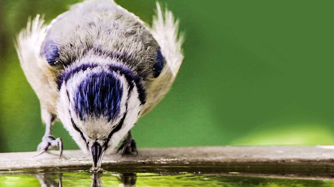 Vogelzählaktion: Blaumeise Gerhard Gellingera Pixabayay