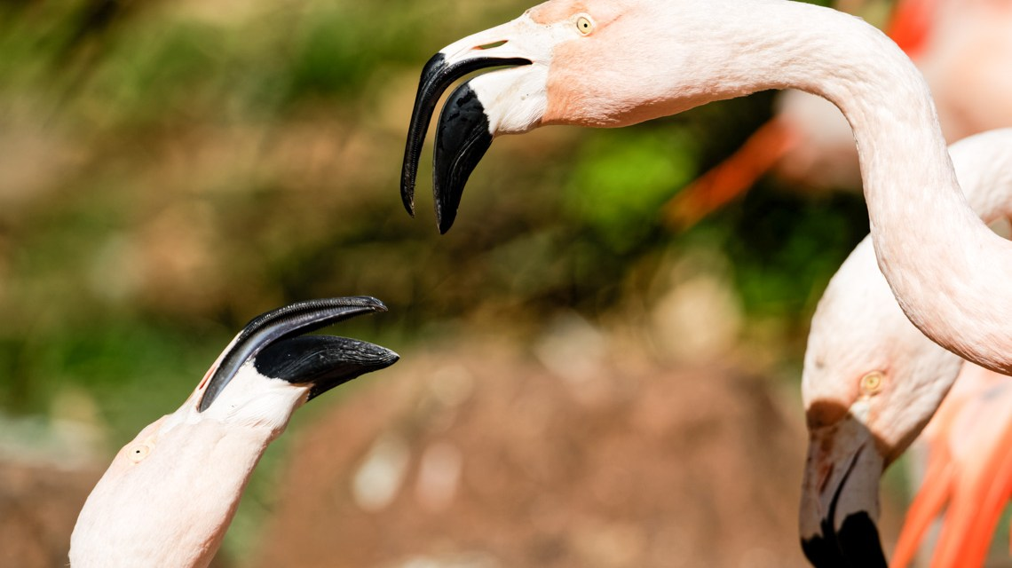 Chile Flamingos im Frankfurter Zoo ©2020 Ralf Brinkmann
