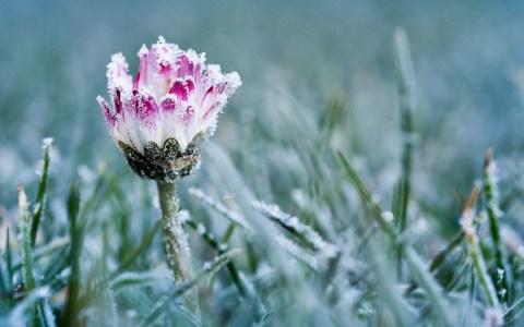 Gänseblümchen mit Frost überzogeen ©2020 Bild von 4924546 auf Pixabay
