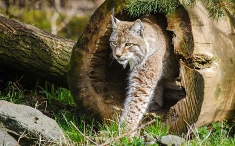 """Wildkatzen: """"Hund und Katz' – ein wilder Vergleich"""" ©2020 skeeze auf Pixabay"""