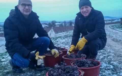 Naspa-Vorstandsmitglied Bertram Theilacker, Vorsitzender des Vollrads-Beirates (links) und Schloss Vollrads-Geschäftsführer Ralf Bengel mit dem kostbaren gefrorenen Lesegut der heutigen Eiswein-Ernte.