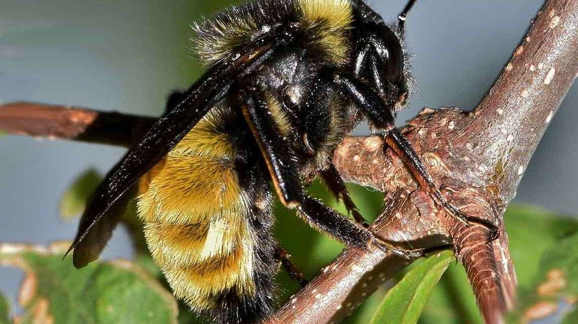 Hummeln und Bienen, Bienenstiche