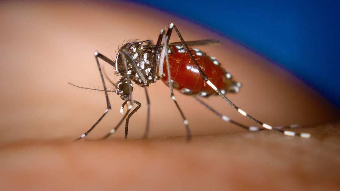 Tigermücke – James Gathany, CDC - Dieses Medium stammt aus der Public Health Image Library (PHIL), mit der Identifikationsnummer #4490 der Centers for Disease Control and Prevention.