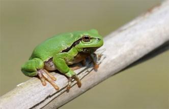 Eine kleine grüne Schönheit mit hübschen Saugnapffüßen.