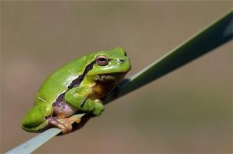 Laubfrosch im Grünen
