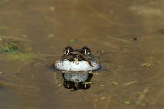 """Grasfrosch beim Quaken. Dabei macht er """"dicke Backen""""."""