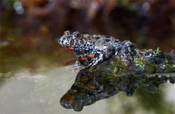 Diese winzige kleine Kröte sah ich zum ersten Mal im Leben. Aufnahme aus der Oberlausitz.