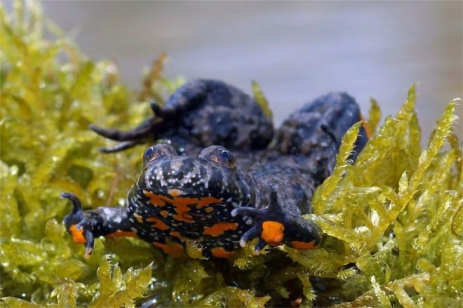 Diese hübschen Kröten sind ein echter Hingucker. Aufnahme aus der Oberlausitz.