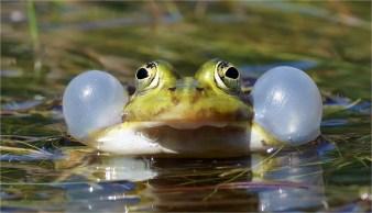 Schallblasen vom Frosch