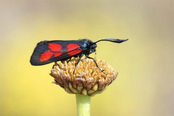 Sumpfhornklee-Widderchen (Zygaena trifolii)
