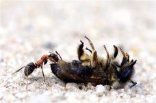 Die Umweltpolizei ist schon da! Eine tote Biene wird als Futter verwendet