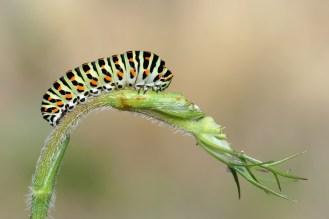 Schwalbenschwanz-Raupe (Papilio machaon)