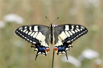 Perfekte Schönheit - Weiblicher Schwalbenschwanz (Papilio machaon)