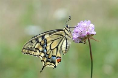 Weiblicher Schwalbenschwanz von der Seite (Papilio machaon)