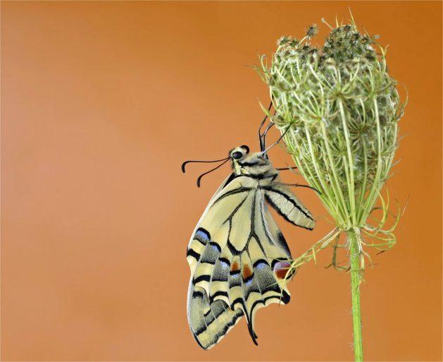 Frisch geschlüpft und noch ganz zart - Schwalbenschwanz (Papilio machaon)