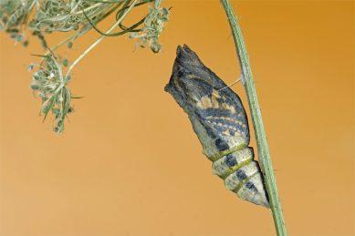 Pergamenthaut - Puppe vom Schwalbenschwanz unmittelbar vor dem Schlüpfen - (Papilio machaon)