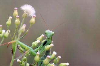 Apartes Gesicht... ich sehe dich. Grüne Variante der Gottesanbeterin Mantis religiosa