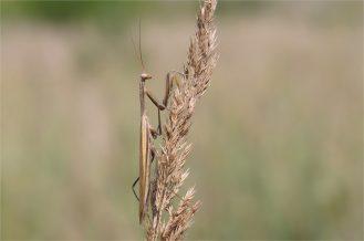 Apartes, kleines Männchen der Gottesanbeterin, Mantis religiosa