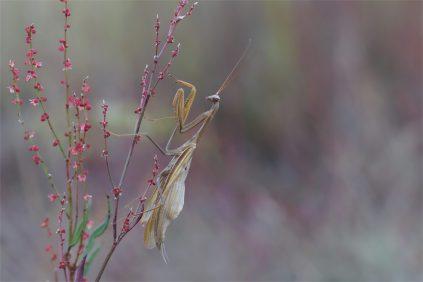 Man sieht die Flügel... männliche Gottesanbeterin Mantis religiosa, braune Version