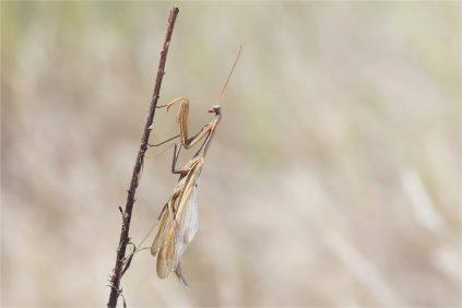 Braunes Männchen mit leicht geöffneten Flügeln, Mantis religiosa
