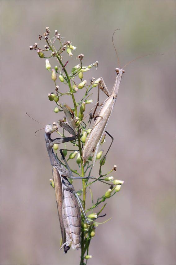 Paarung von Mantis religiosa