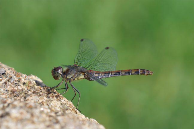 Schattennetzt auf dem Auge... Heidelibelle