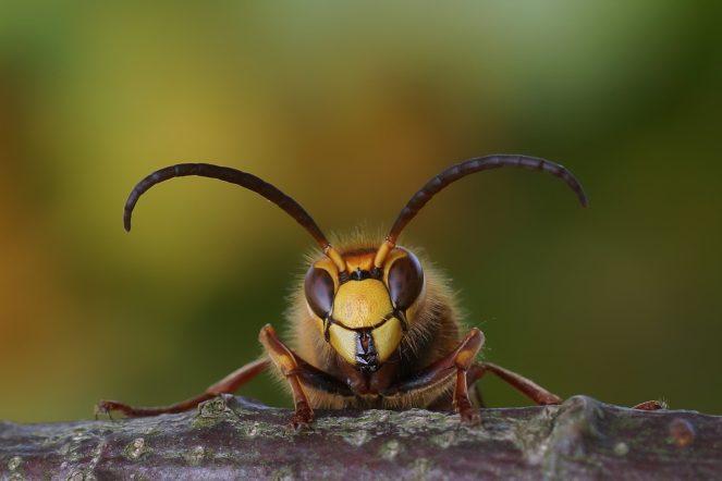 Eines meiner schönsten Hornissenbilder aus diesem Jahr: Hornissendrohn im Herbst