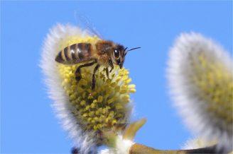 Hungrige und fleißige Biene