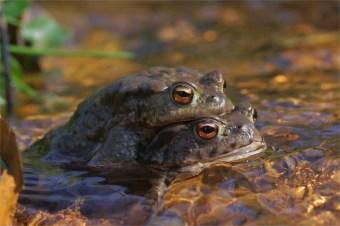 Goldiges Paar - Bufo bufo - Erdkröten