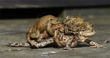 Schlaffis... Erdkrötenmassenpaarung