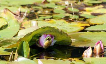 Seerose unter schützendem Blätterdach