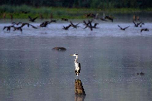 Fischjäger unter sich: Graureiher und Kormorane im Hintergrund