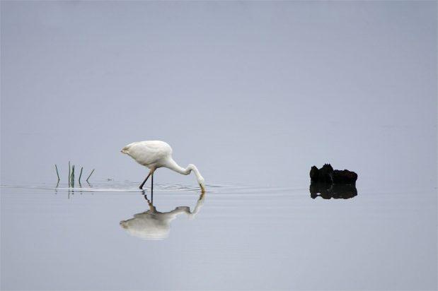 Eleganter Fischjäger - Silberreiher Egretta alba