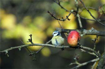 Blaumeise neben einem roten Apfel am Baum