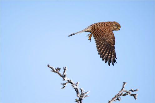Turmfalke (Falco tinnunculus), Abflug