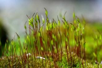 Das Moos sprießt - Moossporen im Wald