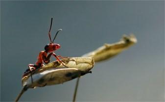 Rote Waldameise - Auf dem Podest