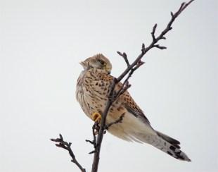 Windzerzaust ... Turmfalke, Weibchen - (Falco tinnunculus)