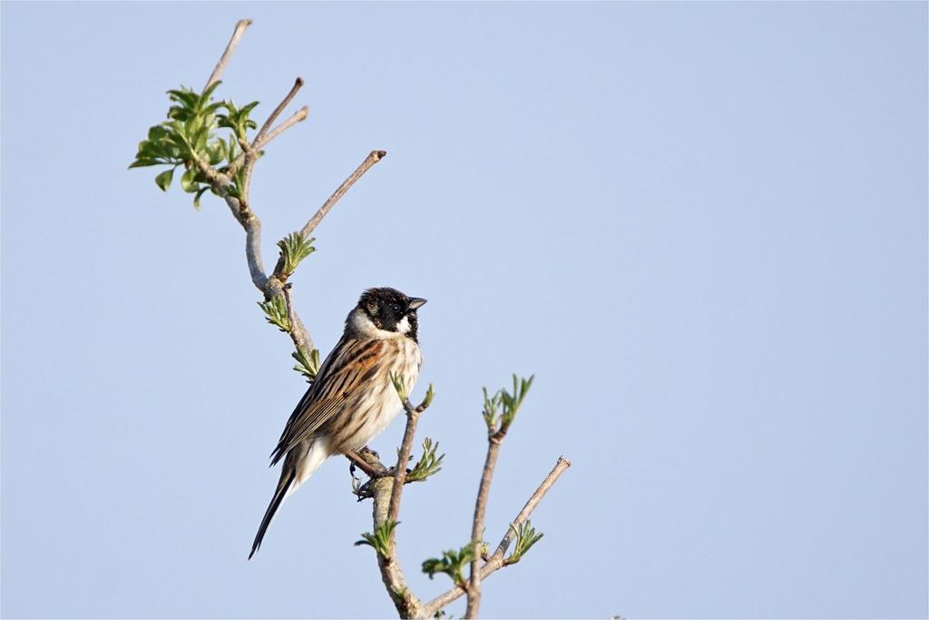 Singende Rohrammer, Männchen, Rohrammer (auch Rohrspatz, Emberiza schoeniclus)