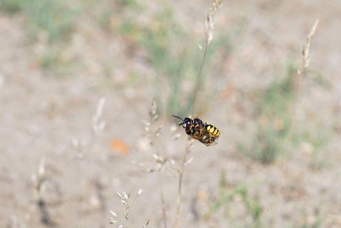 Fliegender Bienenwolf - Philanthus triangulum - mit Bienenbeute - DOKU-