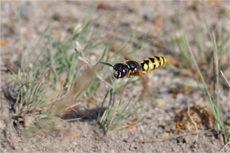 Fliegender Bienenwolf - Philanthus triangulum -
