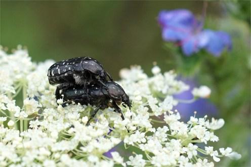 Trauerrosenkäfer bei der Paarung