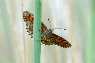 Wachtelweizen - Scheckenfalter- r (Melitaea athalia), auch Gemeiner Scheckenfalter