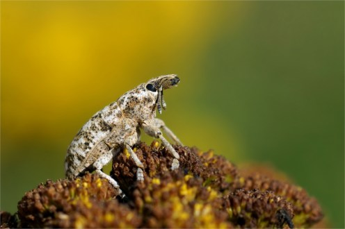 Sonnenanbeter - Rüsselkäfer auf Rainfarn