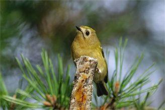 Wintergoldhähnchen am Waldrand - Regulus regulus -